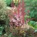 actilbe-simplicifolia-delft-lace-02.jpg