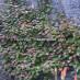 actinidia-kolomikta-06.jpg