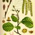 alnus-glutinosa-06.jpg