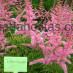 astilbe-chinensis-intermezzo-01.jpg