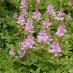 astilbe-chinensis-pumila-01.jpg