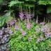 astilbe-chinensis-pumila-07.jpg