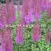 astilbe-chinensis-purpurkerze-01.jpg