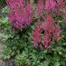 astilbe-chinensis-visions-in-red-02.jpg
