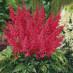 astilbe-japonica-montgomery-01.jpg