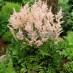 astilbe-japonica-peach-blossom-04.jpg