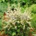 astilbe-simplicifolia-william-buchanan-02.jpg