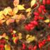 berberis-thunbergii-aurea-04.jpg