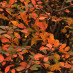 berberis-thunbergii-green-ornament-04.jpg