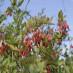 berberis-vulgaris-04.jpg