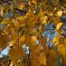 betula-pendula-08.jpg