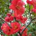 chaenomeles-japonica-04.jpg
