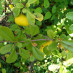 chaenomeles-japonica-05.jpg