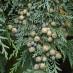 chamaecyparis-lawsoniana-minima-glauca-02.jpg