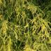 chamaecyparis-pisifera-filifera-aurea-nana-02.jpg