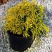 chamaecyparis-pisifera-filifera-aurea-nana-05.jpg