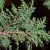 chamaecyparis-pisifera-plumosa-03.jpg