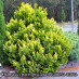 chamaecyparis-pisifera-plumosa-aurea-01.jpg