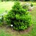 chamaecyparis-pisifera-plumosa-aurea-03.jpg