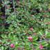 cotoneaster-adpressus-02.jpg