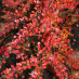 cotoneaster-adpressus-04.jpg