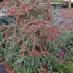 cotoneaster-horizontalis-14.jpg