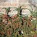 cotoneaster-horizontalis-15.jpg