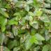 cotoneaster-lucidus-04.jpg