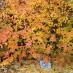 cotoneaster-lucidus-06.jpg