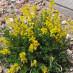 cytisus-decumbens-01.jpg