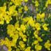 cytisus-decumbens-04.jpg