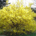forsythia-intermedia-lynwood-01.jpg
