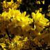 forsythia-intermedia-spectabilis-03.jpg
