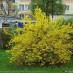 forsythia-intermedia-spectabilis-06.jpg