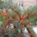 hippophae-rhamnoides-02.jpg