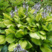 hosta-fortunei-gold-standart-02.jpg
