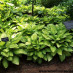 hosta-fortunei-gold-standart-04.jpg