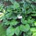 hosta-hybridum-black-hills-02.jpg