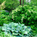 hosta-hybridum-blue-angel-06.jpg