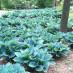 hosta-hybridum-blue-cadet-03.jpg