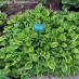 hosta-hybridum-golden-tiara-05.jpg
