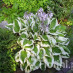 hosta-hybridum-patriot-07.jpg