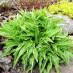 hosta-hybridum-stilletto-03.jpg