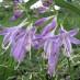hosta-hybridum-stilletto-06.jpg