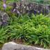 hosta-hybridum-stilletto-09.jpg