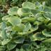 hosta-sieboldiana-aureomarginata-01.jpg