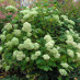 hydrangea-arborescens-grandiflora-04.jpg