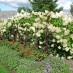 hydrangea-paniculata-04.jpg