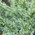juniperus-chinensis-blaauw-10.jpg