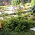 juniperus-chinensis-plumosa-aurea-03.jpg